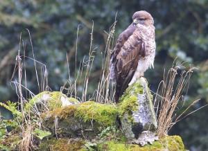 Resting buzzard
