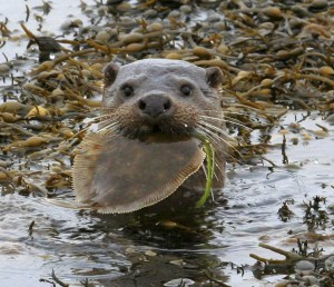 Otter with a plaice