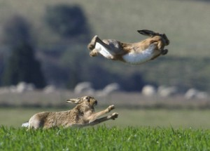 Flying hare
