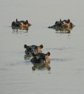 Hippos, Lunaga River