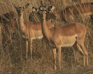 Impala, South Luanga