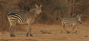Skittish zebra
