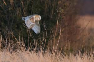 Barn Owl quartering a field margin