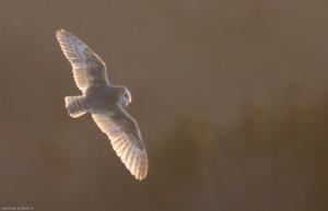 Barn Owl backlit by the rising sun