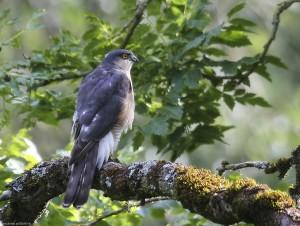 Sparrowhawk at rest
