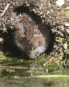 Water vole feeding