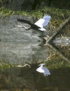 Heron mirror image