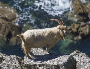 Ferral Goat, Lundy