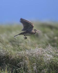 Skylark ascending