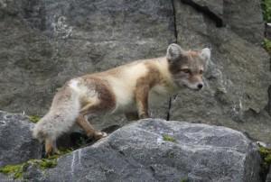 Arctic Fox, Spitzbergen.