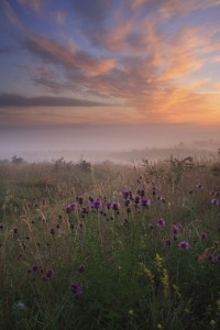 Knapweed at dawn