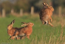 hare jumping