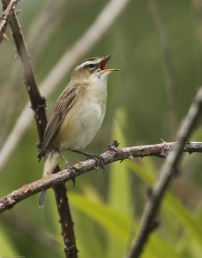 These tiny birds sing like no other - I've heard them sing solidly for 16 hours
