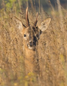 In the summer these animals are very well camouflaged in long grass.