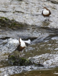 Dipper - territorial display