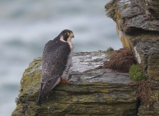 Peregrine on cliff ledge