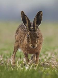 Hare appraoching
