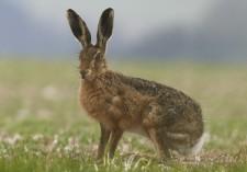 hare ready to run