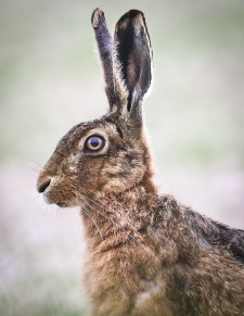 probably the closest I have got to a hare
