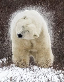 Polar bear shaking off snow having just had a snow bath to cool himself off. Taken near Churchill on the Hudson Bay Canada