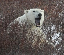 yawning bear